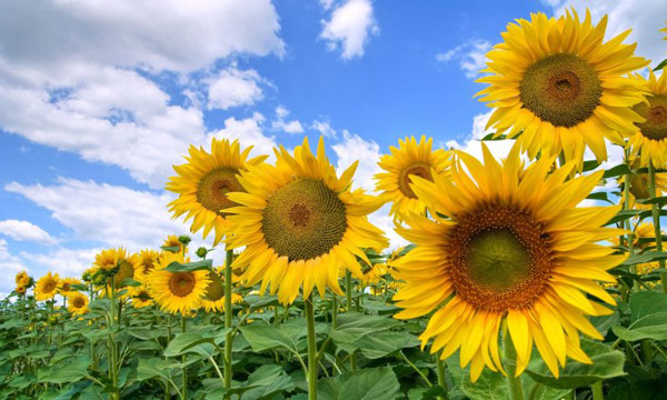 Ý nghĩa hoa hướng dương là gì