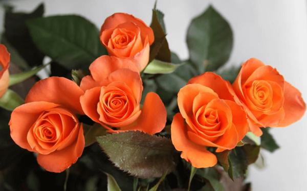 Hoa hồng cam có ý nghĩa gì