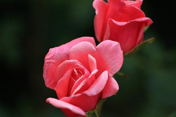 Hoa hồng màu hồng có ý nghĩa gì