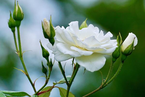 ý nghĩa hoa hồng trắng là gì