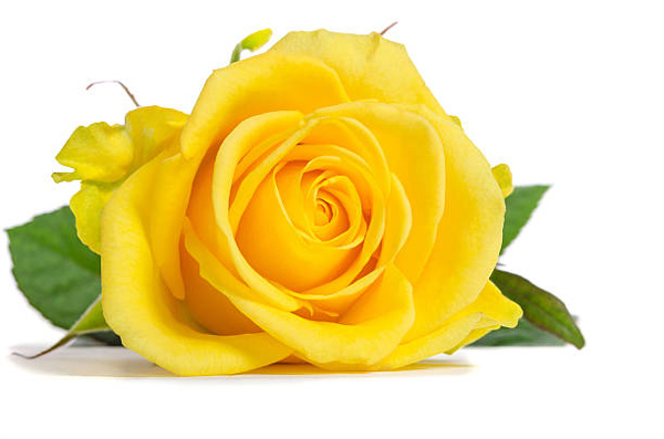 Ý nghĩa hoa hồng vàng là gì