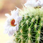ý nghĩa hoa xương rồng là gì