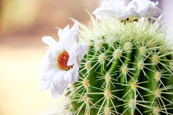 Hoa xương rồng: Ý nghĩa & biểu tượng của nó