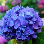 Ý nghĩa hoa cẩm tú cầu là gì