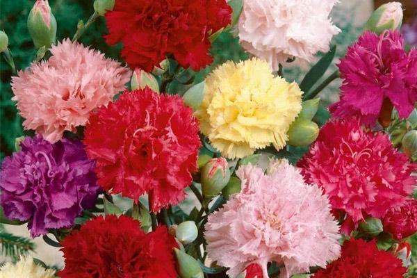 Hoa cẩm chướng tượng trưng cho điều gì