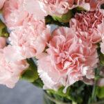 Ý nghĩa hoa cẩm chướng là gì